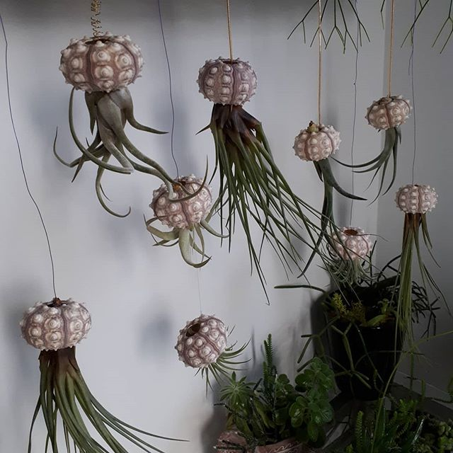 Jellyfish aka air plants 😉