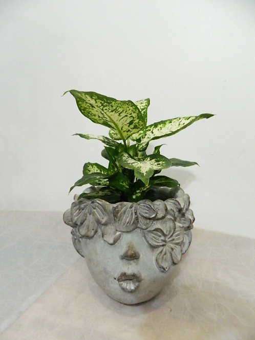 Kissing face pot with Leopard Diffenbachia