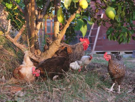 Cuidamos de nuestras gallinas