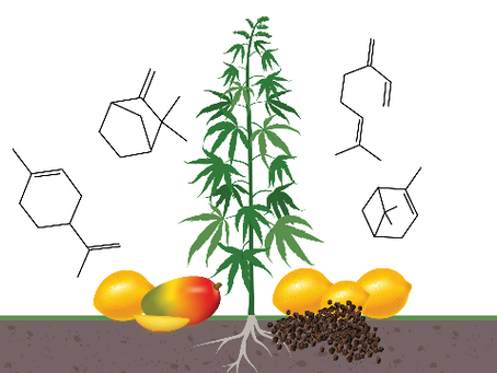 Terpenes: the difference between  CBD & THC