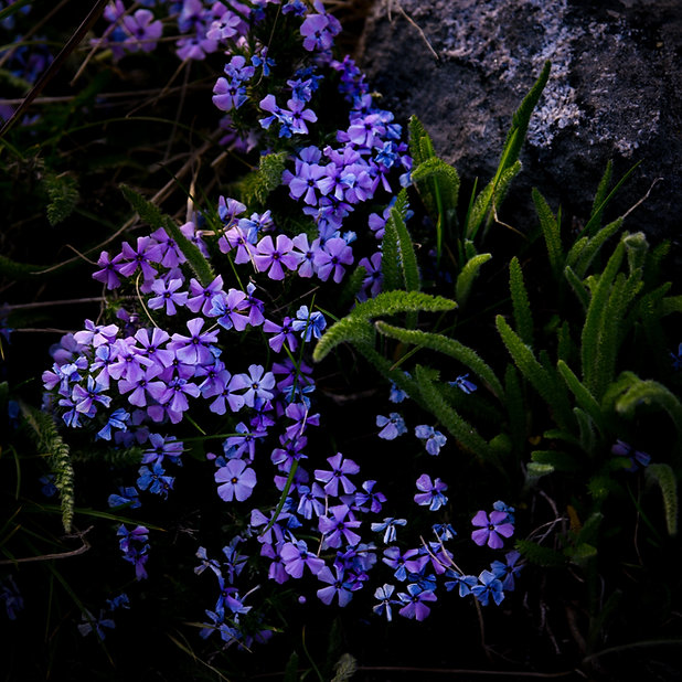 Moody Violet.jpg