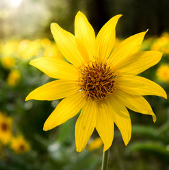 Beacon Hill Balsamroot.jpg
