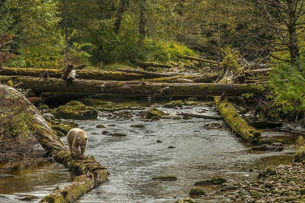 Spirit bear walking along a river in the Great Bear Rainforest