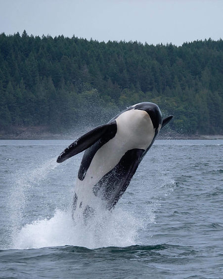 orca whale jumping out of the ocean water