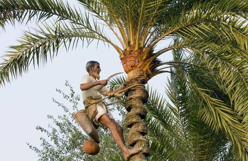 Man harvesting date palm sap