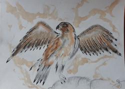 Le faucon aux 4 ailes
