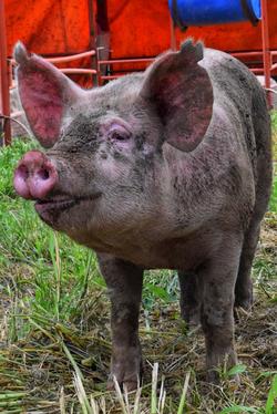 Pig face