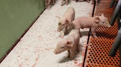 MS Schippers dry care in piglet pen