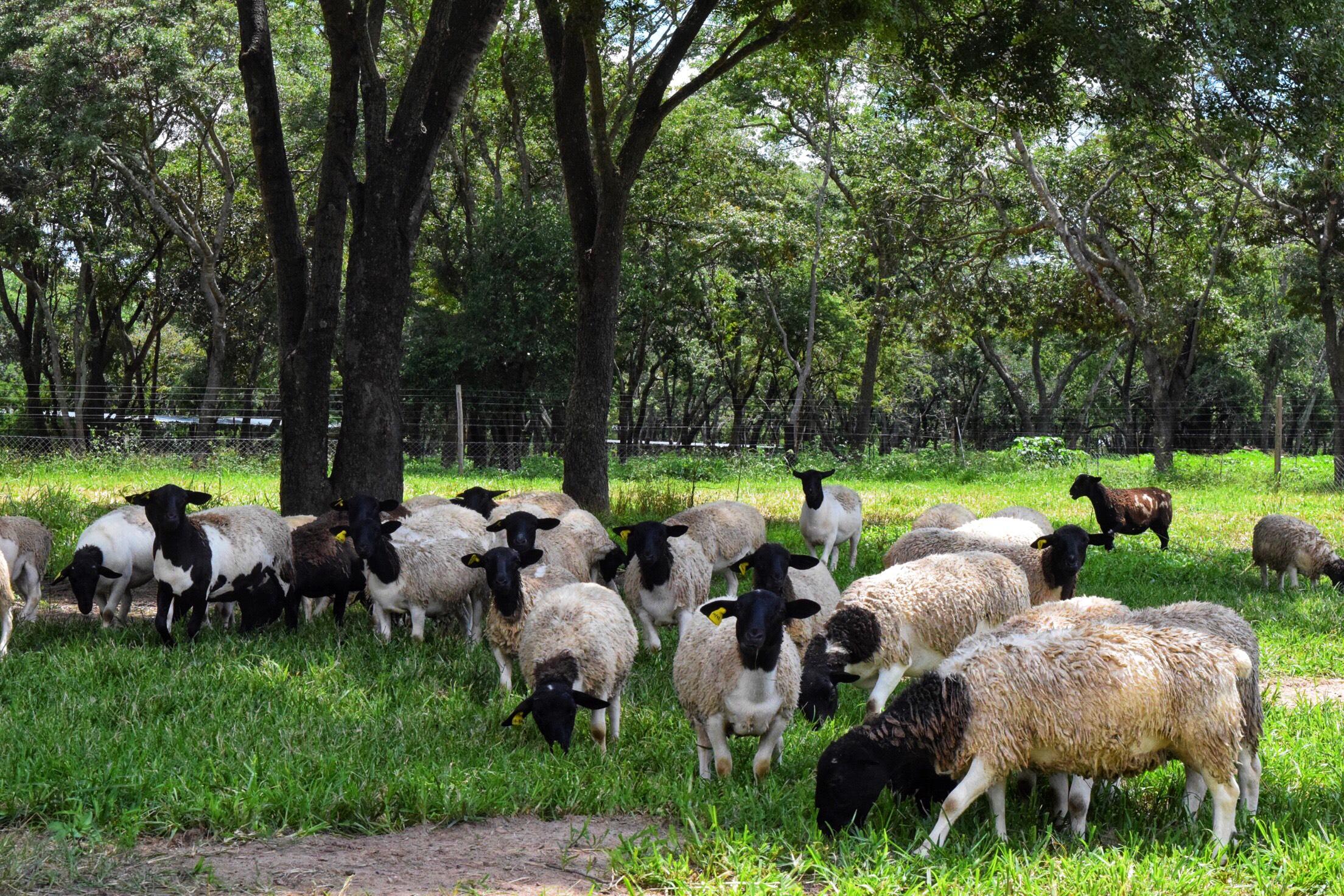 Sheep herd 4