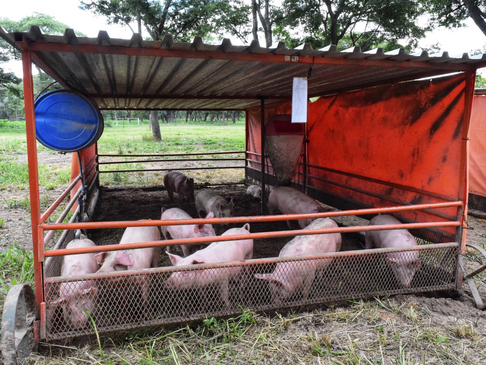 PPV: Part 2 of Blog Series on 3 Common Pig Diseases in Zimbabwe