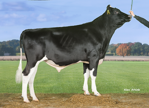 Viking Holstein