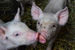 2 piglet faces