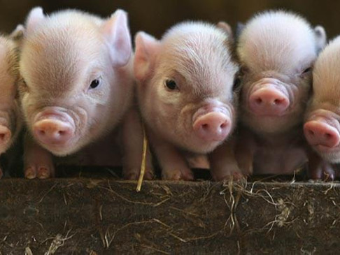 Coccidiosis: Part 1 of Blog Series on 3 Common Pig Diseases in Zimbabwe