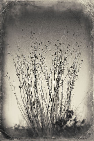 Ocotillo wet plate.jpg