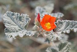 Desert Mallow Sphaeralcea ambigua photo