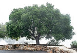 California Live Oak_7076 S.jpg
