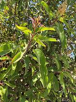 Laurel Sumac leaf close up photo by Pegg