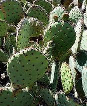 Prickly%20pear%20cactus_7098%20S_edited.