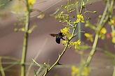 Mt Helix Park Carpenter Bee photo by Hun