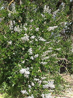 Ceanothus spinosus (Spiny Mountain Lilac