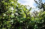 Wild Cucumber_7096 S.jpg