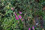 Wild SD Sweatpea_2372 S.jpg