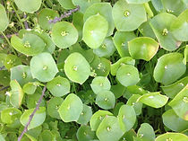 Miners Lettuce.jpg