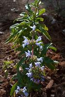 Munz's Sage Salvia munzii photo by Gary