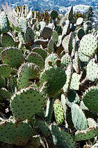 Prickly pear cactus_7098 S.jpg