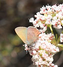 Non-Hermes copper variety butterfly phot