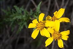 San Diego Sunflower Bush Bahiopsis lacin