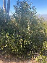 Lemonade Berry bush photo by Peggy Junke