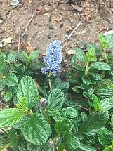 Ceanothus flower.jpg