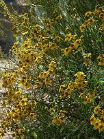 San Diego Sunflower.jpg