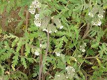 Phacelia Cicutaria California Native.jpg