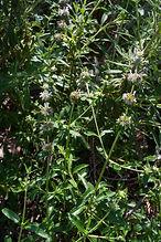 Black sage plant Salvia mellifera photo