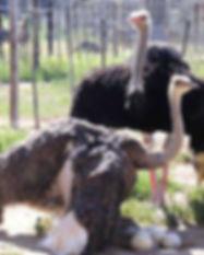 safari-ostrich-farm-oudtshoorn-garden-ro