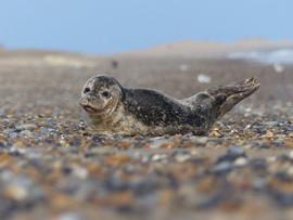 Seals on North Norfolk Coast