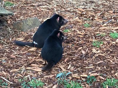 Зуду Зу, зоопарк под Ричмондом — Тасмания 2018 — Блог о путешествиях Сергея Чеботова