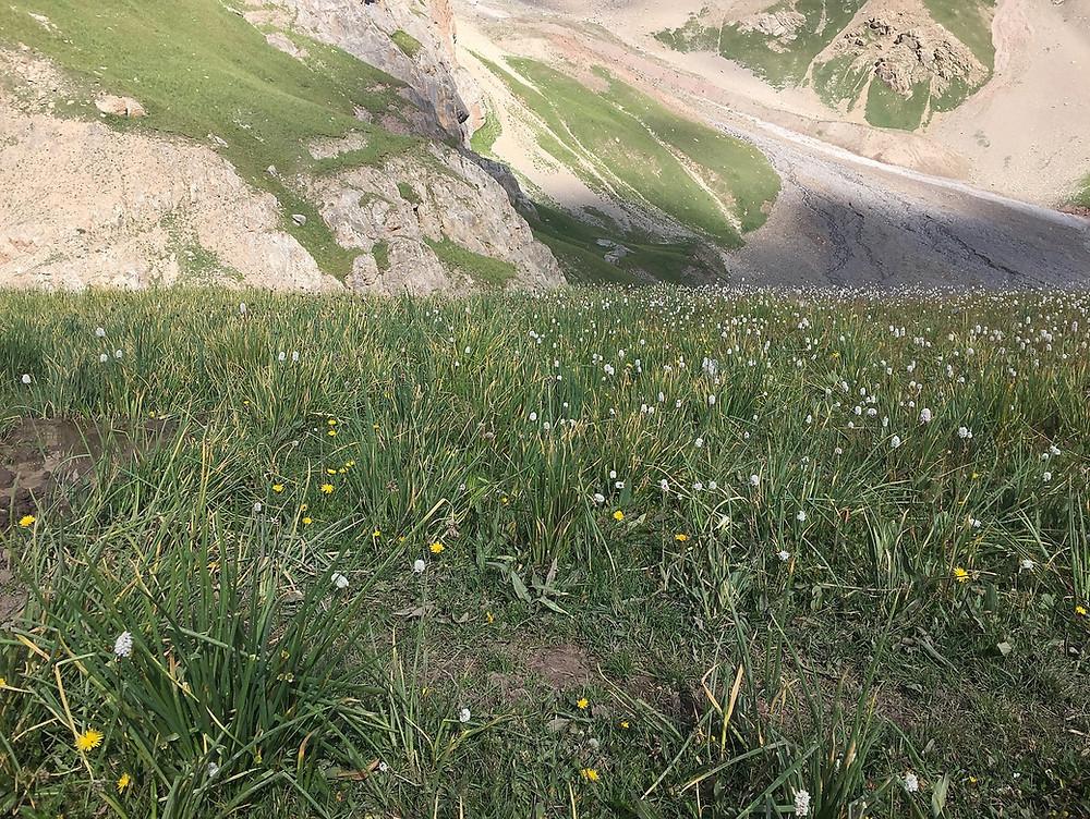Заросли дикого лука | skitour.club | Блог Сергея Чеботова