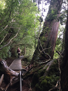 Этот участок рейн фореста (Rain forest) называется — «Ballroom» — Тасмания 2018 — Блог о путешествиях Сергея Чеботова