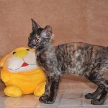 Окрасы котят породы Уральский рекс_9.jp