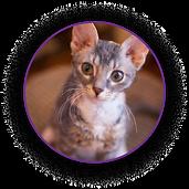 Кошка породы уральские рексы