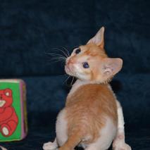 Окрасы котят породы Уральский рекс_3.jp