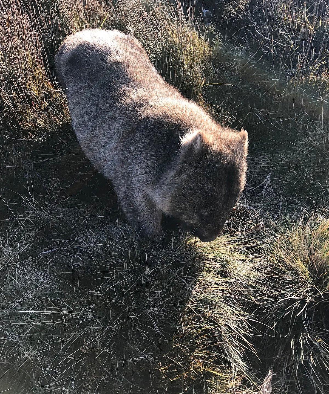 Вомбаты на Cradle Valley Boardwalk — Тасмания 2018 — Блог о путешествиях Сергея Чеботова