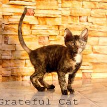 Окрасы котят породы Уральский рекс_5.jp