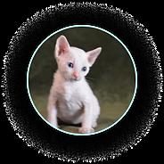 Белый котёнок уральский рекс