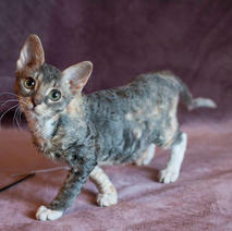 Окрасы котят породы Уральский рекс_1.jp