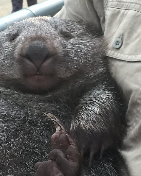 Вомбат в парке диких животных  — Тасмания 2017 — Блог о путешествиях Сергея Чеботова