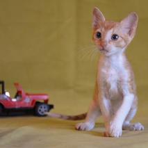 Окрасы котят породы Уральский рекс_4.jp